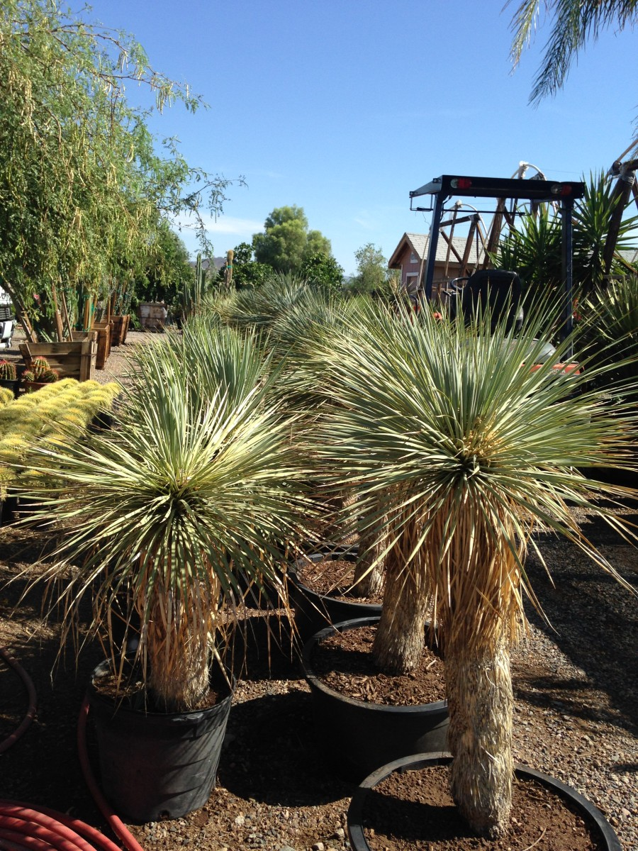 Xeriscape plants earthtones landscape management for Dry scape landscaping